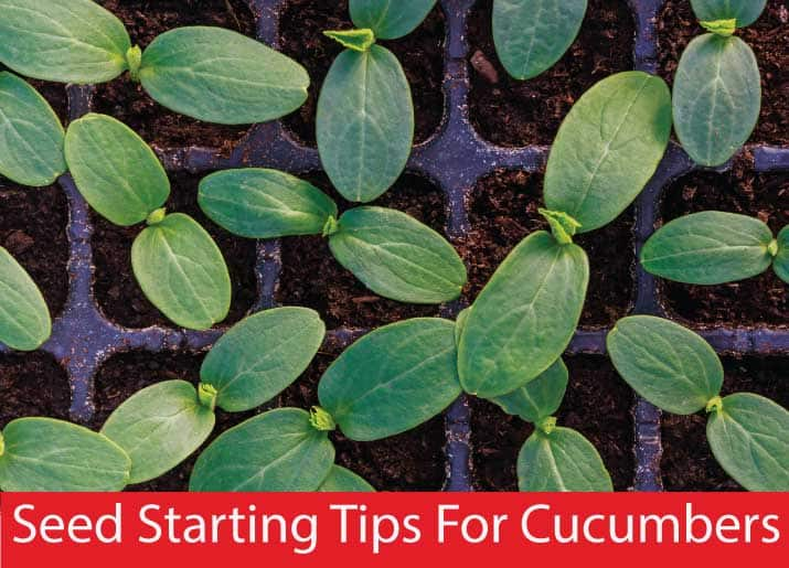 cucumber seedlings text says Seed Starting Tips For Cucumbers